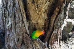 Lovebird near the nest. Serengeti. Tanzania Stock Photo