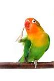 Lovebird odizolowywający na biały Agapornis fischeri Zdjęcie Royalty Free