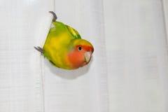 Lovebird papuga & x28; Agapornis roseicollis& x29; Zdjęcie Stock