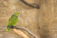 Lovebird Parrot Royalty Free Stock Photo