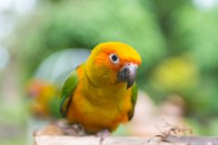 Lovebird or Parrot standing on tree in park, Agapornis fischeri Royalty Free Stock Images