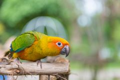 Lovebird or Parrot standing on tree in park, Agapornis fischeri Royalty Free Stock Photos