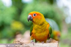 Lovebird or Parrot standing on tree in park, Agapornis fischeri Royalty Free Stock Photo