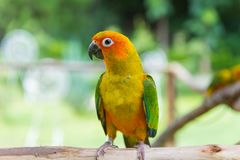 Lovebird or Parrot standing on tree in park, Agapornis fischeri Stock Image