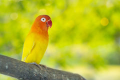 Lovebird parrots sitting on a tree branch Royalty Free Stock Images