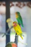 Lovebird parrots sitting on a tree branch Stock Photos
