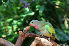 Lovebird with pink and green feathers Royalty Free Stock Photography