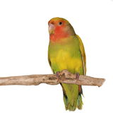 Lovebird, rosy faced lovebird,  isolated on white Stock Photos