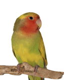 Lovebird, rosy faced lovebird,  isolated on white Royalty Free Stock Photography