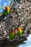 The lovebird selects the nest in the hollow, Serengeti, Tanzania. The parrots selects the nest in the hollow, Serengeti, Tanzania. Africa Stock Photography