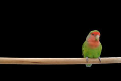 Lovebird sitting on a stick Royalty Free Stock Image