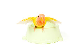 Lovebird with spreaded wings after taking a bath. On white stock photo