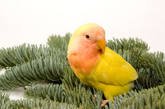Lovebird standing between the christmas bare twigs. On white royalty free stock image