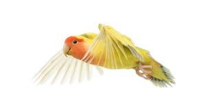 Lovebird stawiający czoło latanie Obrazy Royalty Free