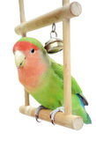 Lovebird on swing Royalty Free Stock Photos
