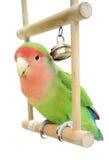 Lovebird on swing. Peach-faces lovebird sitting on a swing Royalty Free Stock Photos