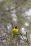 Lovebird on a tree Stock Image