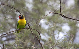 Lovebird on a tree Royalty Free Stock Images