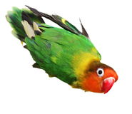 Lovebird  on white Agapornis fischeri (Fischer's Lovebird) Royalty Free Stock Images