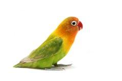 LovebirdAgapornis fischeri Stockfotos