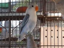 Lovebirds łupkowaci Fotografia Stock