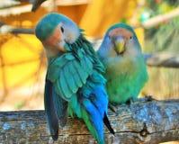Lovebirds-πίθηκος κήπος-Tenerife-Ισπανία Στοκ Φωτογραφίες