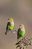 Lovebirds Immagine Stock