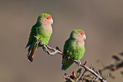 Lovebirds Stockbild
