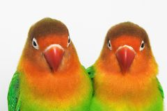Lovebirds. Pair of little parrots lovebirds agapornis-fischeri Royalty Free Stock Image