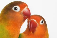 Lovebirds. Pair of little parrots lovebirds agapornis-fischeri Stock Photography