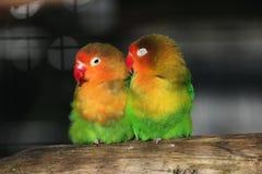 Lovebirds Στοκ Εικόνες