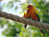 Lovebirds. Two lovebirds cuddle stock photography