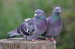 lovebirds Стоковые Изображения