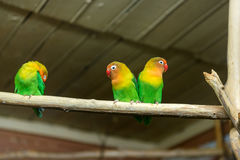 lovebirds Στοκ Εικόνα