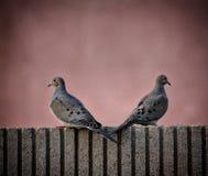 Lovebirds Royalty Free Stock Photo