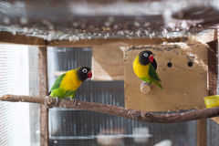 Lovebirds birds on a branch. Cute lovebirds birds on a branch Royalty Free Stock Images