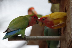 Lovebirds Bump Heads Stock Photography