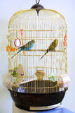 Lovebirds in cage. Royalty Free Stock Image