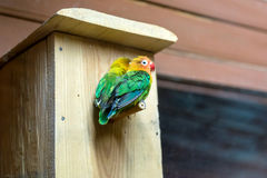 Lovebirds Stock Images