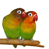 Lovebirds d'isolement sur le fischeri blanc d'Agapornis Images stock