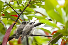 Lovebirds Stock Photo