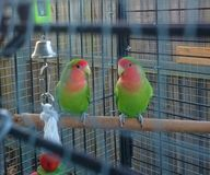 Lovebirds Immured Royalty Free Stock Photo