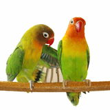 Lovebirds isolated on white Agapornis fischeri. (Fischer's Lovebird Stock Photo