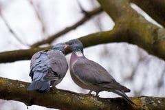 Lovebirds Stock Image