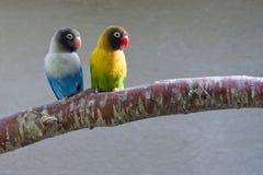 Lovebirds masqués sur le branchement (semblant exact) Photographie stock libre de droits