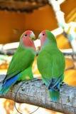 Lovebirds. In Monkey Zoo Tenerife Stock Photos