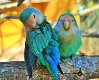 Lovebirds-Monkey Zoo-Tenerife-Spain Stock Photos