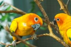 Lovebirds na drzewie Obrazy Royalty Free