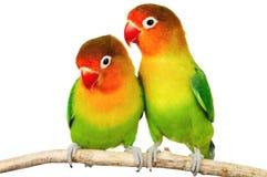 lovebirds para Zdjęcia Stock