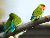 Lovebirds parrots Stock Photo